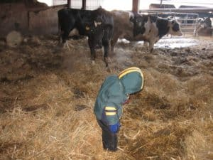 Young kid in dirty straw in dairy barn