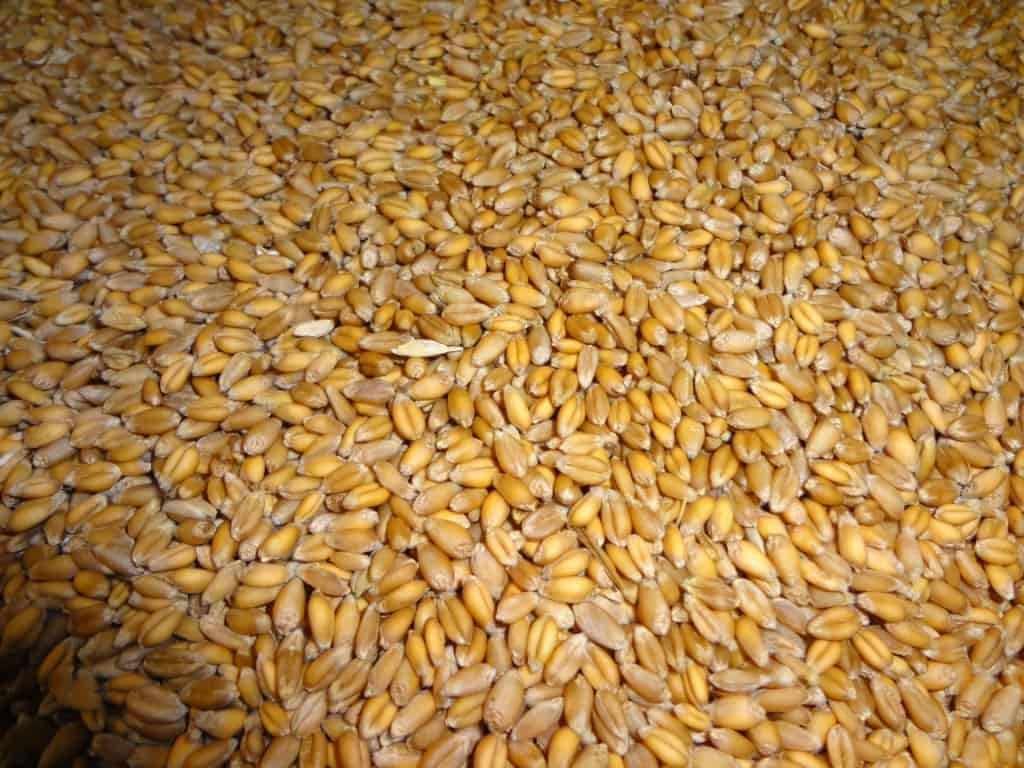 wheat cleaned by hand