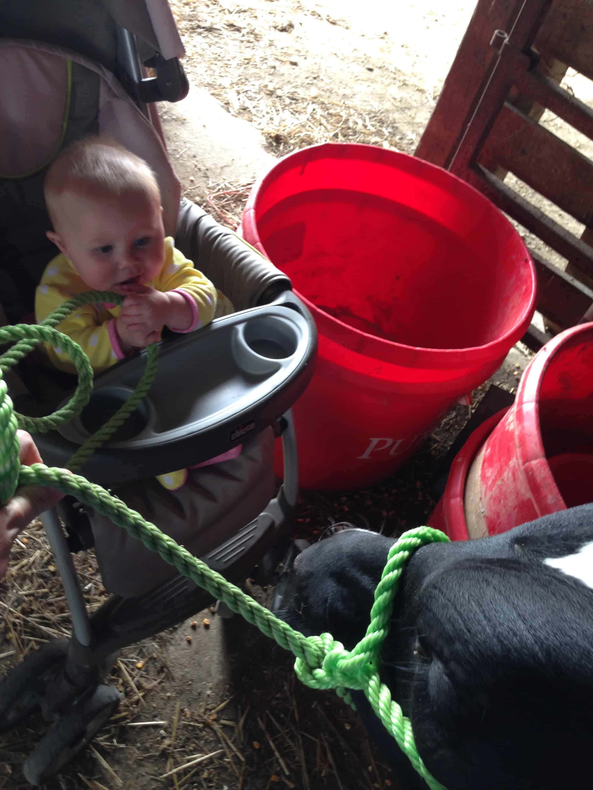baby holding calf halter