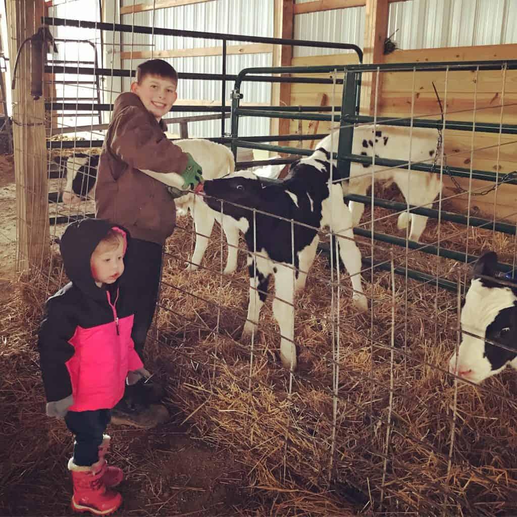 feeding Holstein bull calves for 4-H project